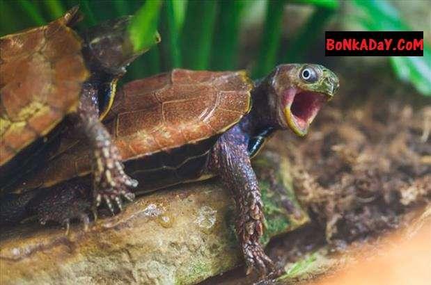 tartaruga che fa l'amore