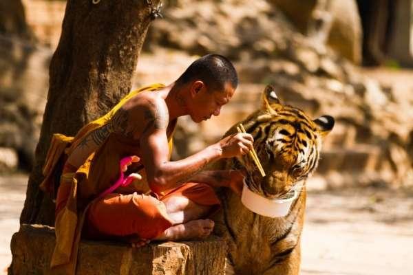 In sintonia con una tigre