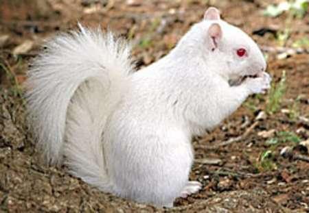 Lo scoiattolo bianco con sfondo chiaro