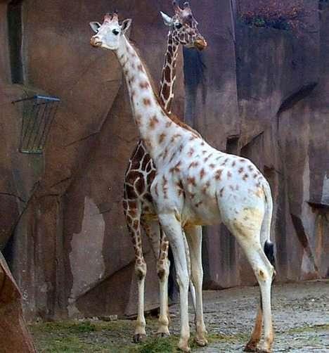 animali albini, Giraffe, sì una è bianca...stranezze, ma non tanto dans animali affascinanti animali-albini-7