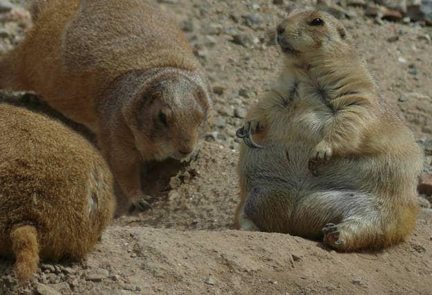 Marmotta grassa