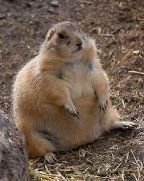Animali grassi