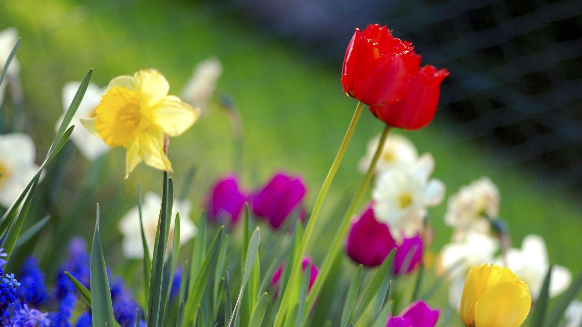 Prato con Tulipani