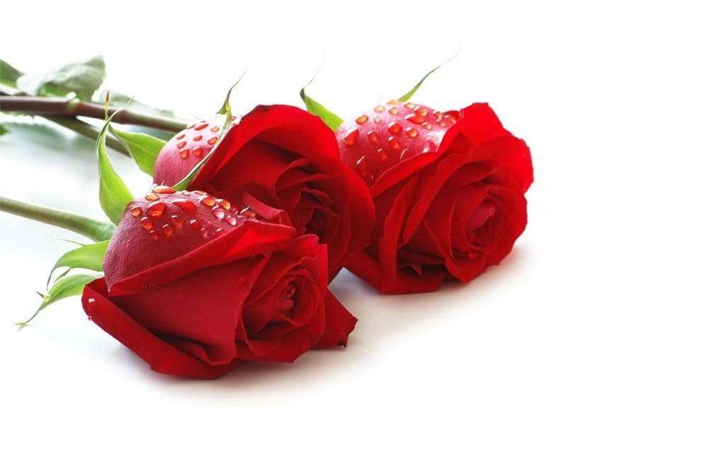 Wallpaper rose rosse
