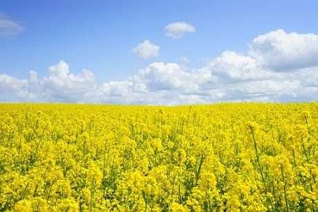 Sfondi fiori gialli