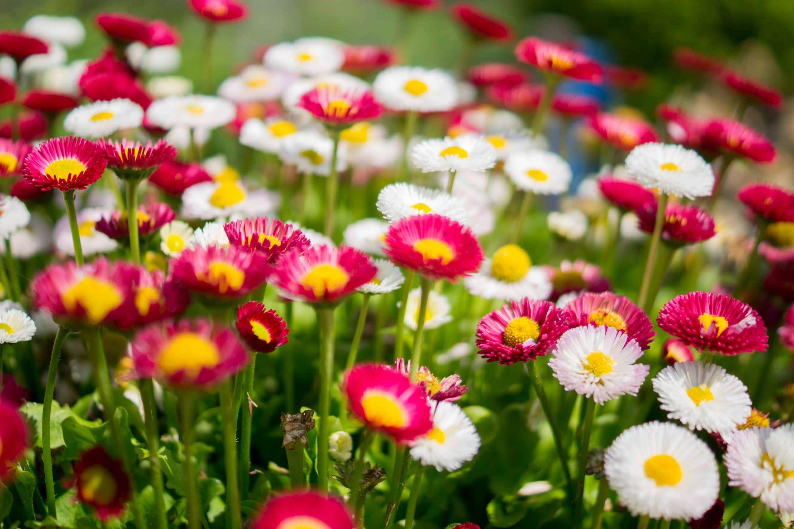 fiori di sfondo