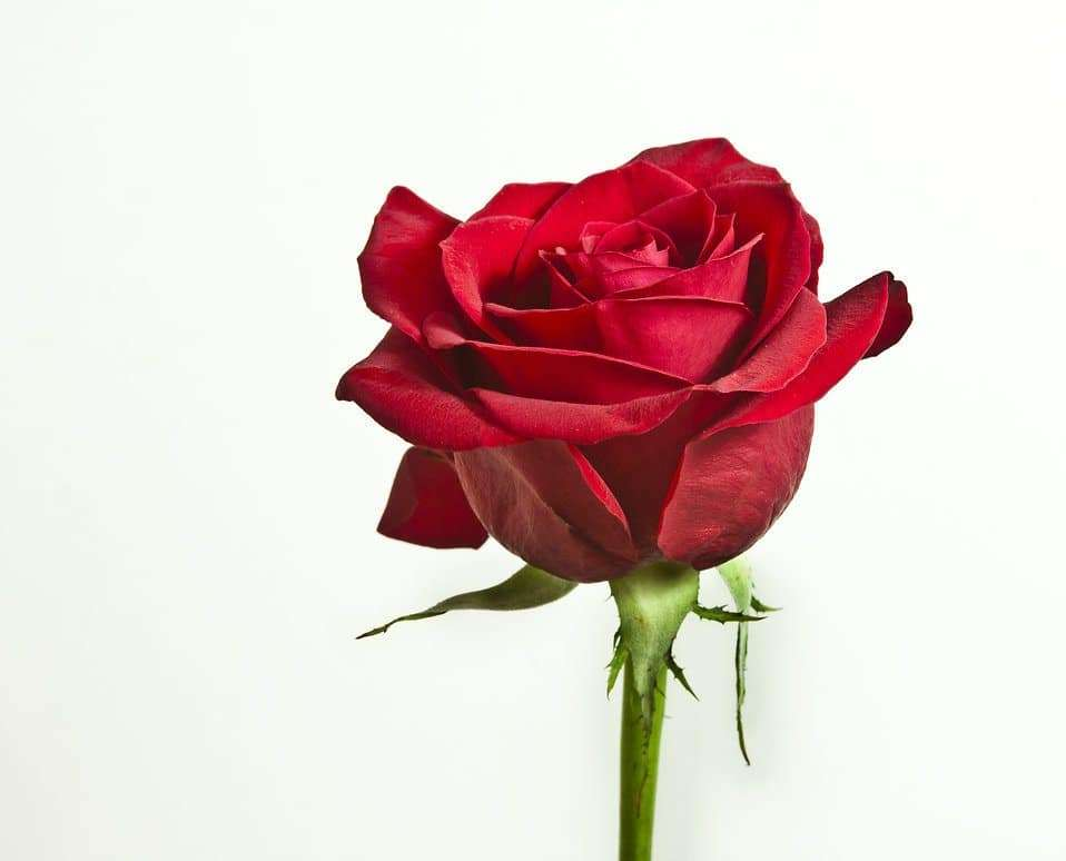 Rose Sfondi HD