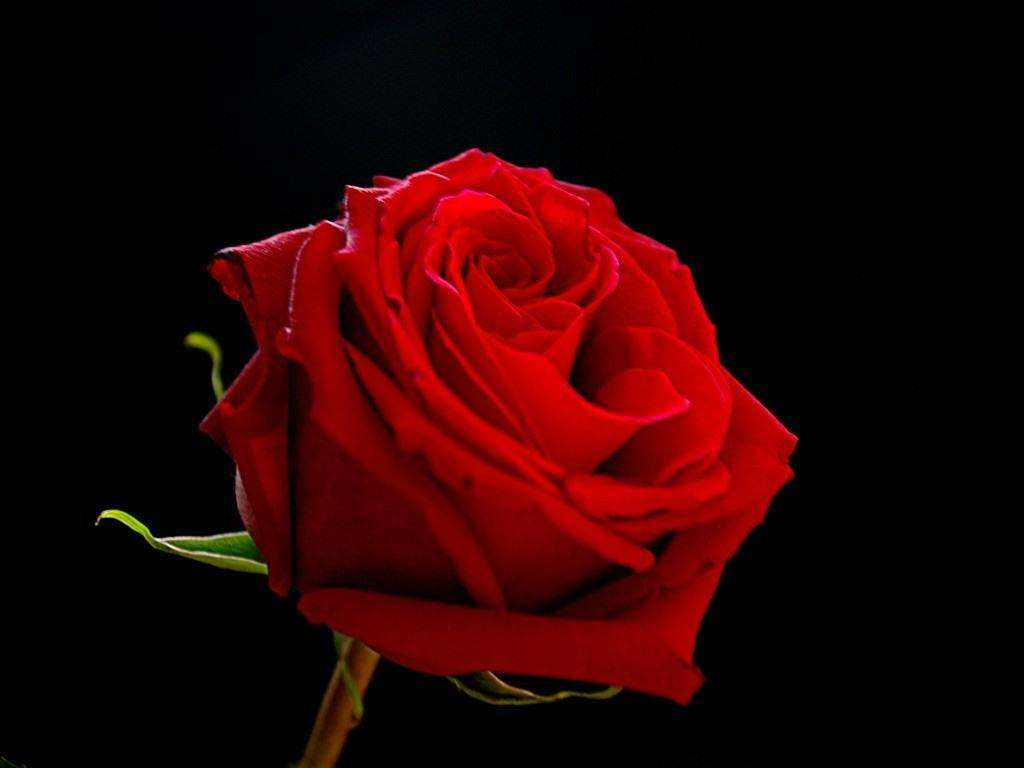 Wallpaper Rose HD
