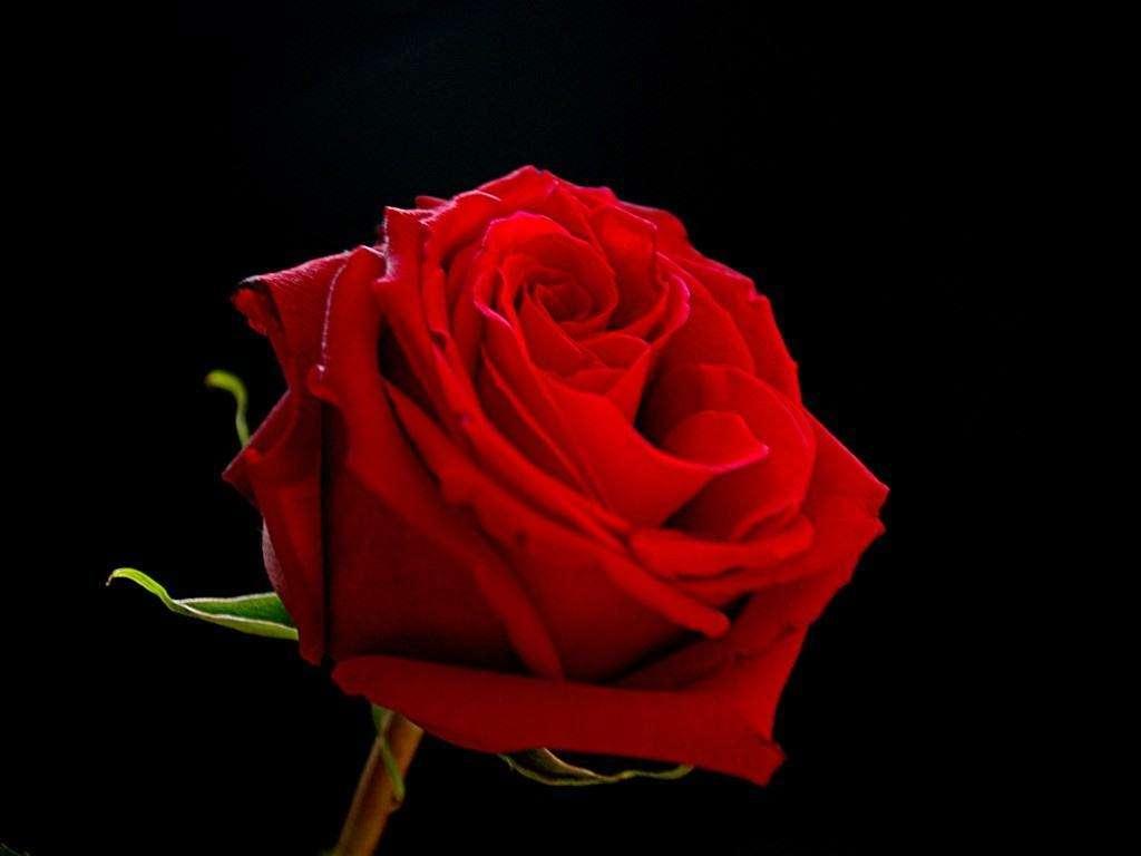 Wallpaper Rose HD
