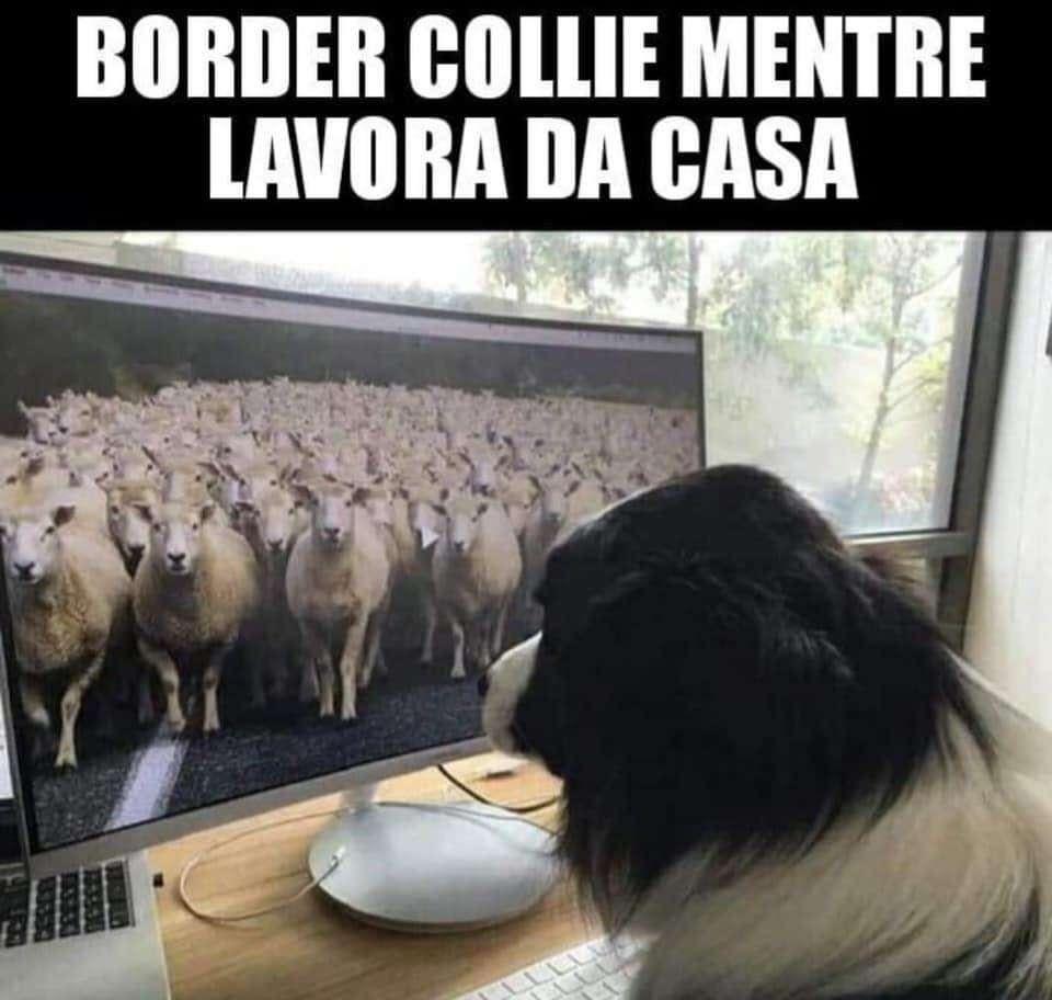 Immagini divertenti smart working - Il cane che controlla le pecore dallo schermo.